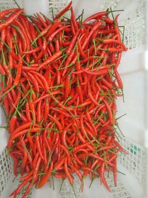 这是一张关于小米椒 2~5cm 红色 中辣的产品图片