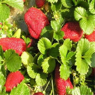 山东省泰安市岱岳区牛奶草莓苗 地栽苗 10~20公分
