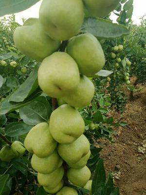 这是一张关于梨枣 拐一 10-20g的产品图片