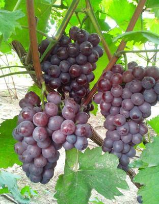 这是一张关于巨峰葡萄 5%以下 1次果 2斤以上的产品图片