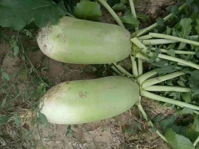 山西省忻州市忻府区青皮绿萝卜 1~1.5斤