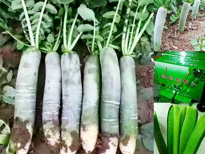 山东省潍坊市寒亭区潍县青萝卜 1.5~2斤
