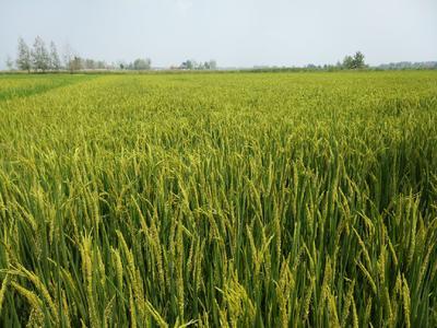 安徽省滁州市全椒县杂交稻 中稻