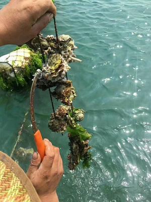 这是一张关于漳州生蚝 人工殖养 2-3两/只的产品图片