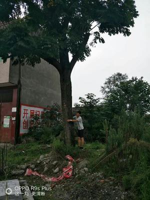 四川省眉山市东坡区栾树