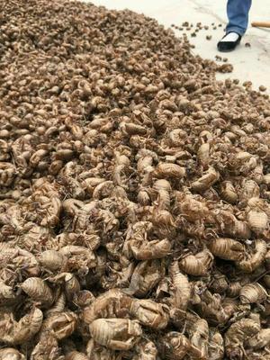 这是一张关于蝉蜕的产品图片