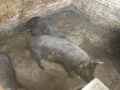 这是一张关于黑猪 160斤以上的产品图片