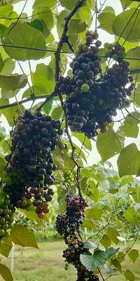 这是一张关于山葡萄 5%以下 1次果 2斤以上的产品图片