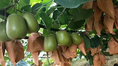 这是一张关于蒲江猕猴桃 70~90克的产品图片