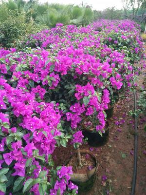云南省昆明市宜良县紫红三角梅 1.0~1.5米