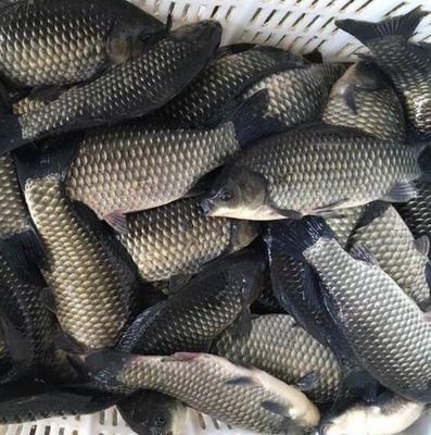 这是一张关于彭泽鲫 人工养殖 0.25-1龙8国际官网官方网站的产品图片