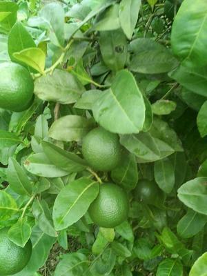 广西壮族自治区柳州市融安县青柠檬 1 - 1.5两
