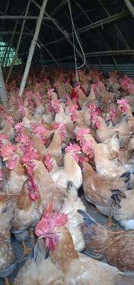这是一张关于三黄鸡 公 2-3斤的产品图片