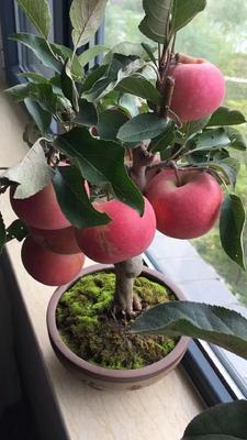 这是一张关于果树盆景的产品图片