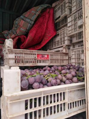 这是一张关于巨峰葡萄 5%以下 1次果 0.4-0.6斤的产品图片