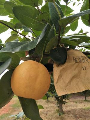 这是一张关于翠冠梨 300-350g 85mm以上的产品图片