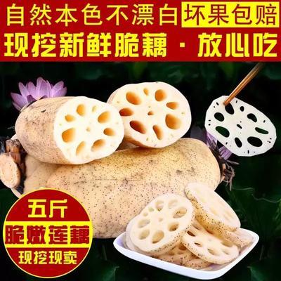 江苏省连云港市新浦区白莲藕 3-5cm 5~10cm