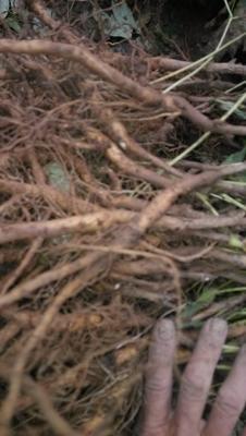 这是一张关于油牡丹种苗的产品图片