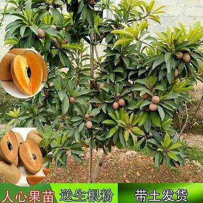 广西壮族自治区钦州市灵山县人心果树苗