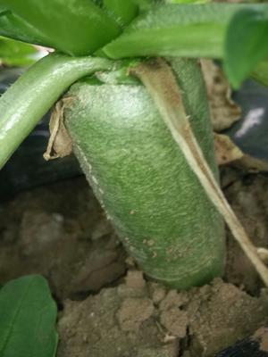 内蒙古自治区乌兰察布市兴和县青皮绿萝卜 1~1.5斤