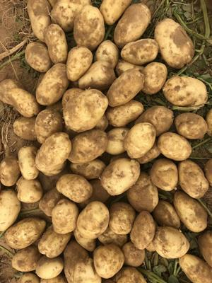 陕西省榆林市定边县冀张226土豆 3两以上