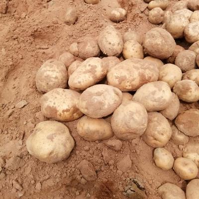甘肃省兰州市皋兰县克新土豆 3两以上