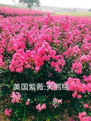 安徽省芜湖市芜湖县美国矮生紫薇