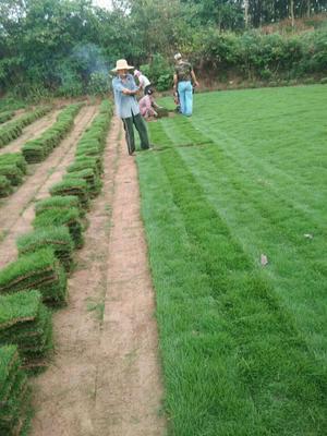 安徽省滁州市琅琊区马尼拉草皮