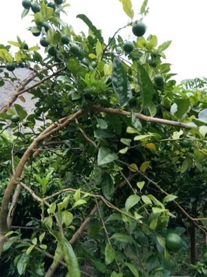 广东省茂名市高州市青柠檬 2.7 - 3.2两