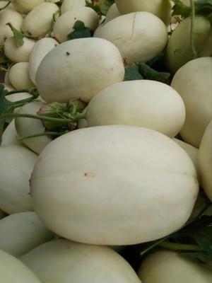 山东省滨州市惠民县脆梨甜瓜 1.5斤以上