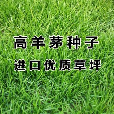 这是一张关于护坡草种子的产品图片