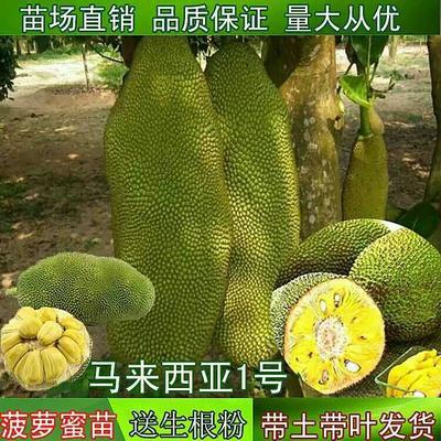 这是一张关于马来西亚一号菠萝蜜苗的产品图片