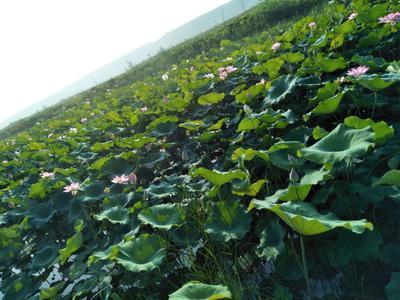 这是一张关于莲蓬 红莲 8cm以上 特级的产品图片