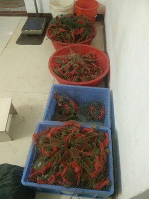 这是一张关于青蟹 4.0两以上 公蟹的产品图片