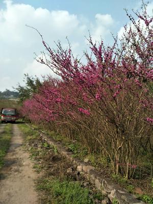 重庆北碚区丛生紫荆