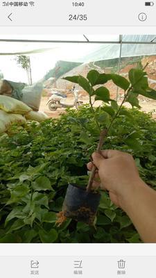 福建省漳州市龙海市潮州红三角梅 0.2米以下