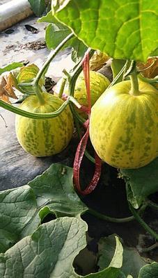 山东省滨州市惠民县花蕾甜瓜 1斤以上