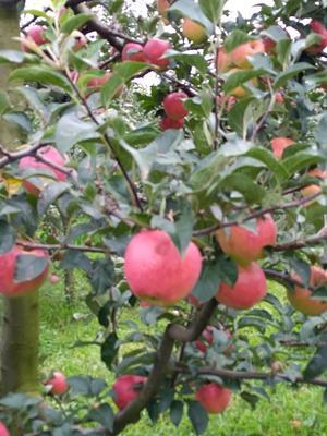 这是一张关于昭通苹果 光果 全红 70mm以上的产品图片