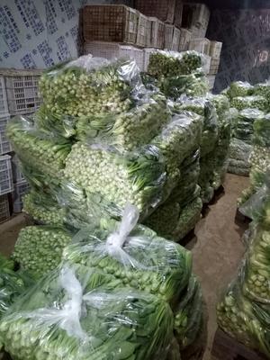 山东省菏泽市曹县上海青 15~20公分