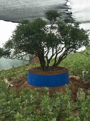 甘肃省定西市临洮县紫斑牡丹 20cm以上 20cm以上 1.5~2米