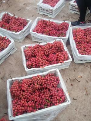 这是一张关于克伦生无核葡萄 5%以下 1次果 1.5- 2斤的产品图片