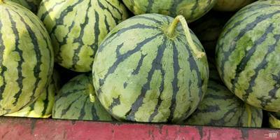天津滨海新区京欣西瓜 有籽 1茬 9成熟 5斤打底