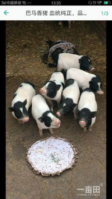 这是一张关于巴马香猪 20-40斤的产品图片