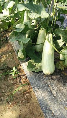 山东省滨州市惠民县羊角脆甜瓜 1.5斤以上