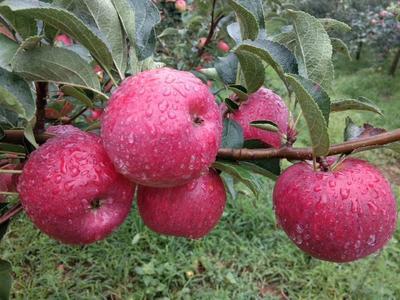 这是一张关于昭通苹果 光果 表光 70mm以上的产品图片
