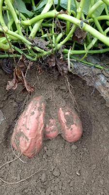 这是一张关于烟薯25 红皮 3两以上的产品图片