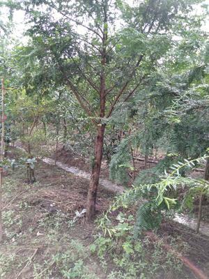 这是一张关于南方红豆杉 3~3.5米的产品图片