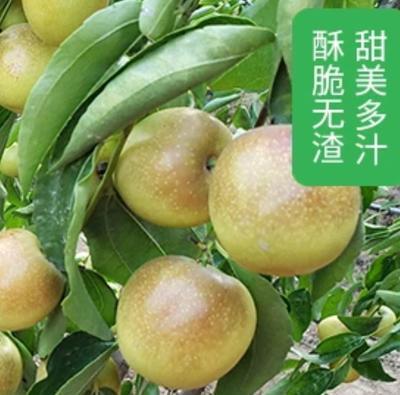 陕西省渭南市大荔县冬枣 拐二 20-30g