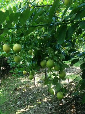 广东省清远市英德市香水柠檬 3.3 - 4.5两