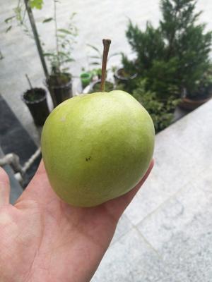 甘肃省陇南市礼县苹果梨 150-200g 75mm以上